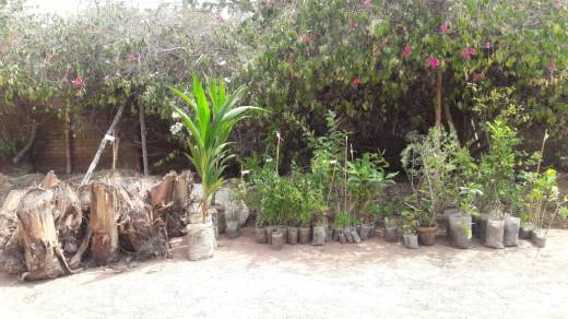 saplings of lemon, falsa, banana, morenga and much more to be planted